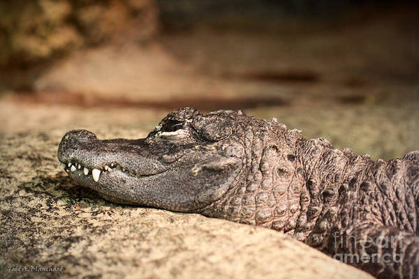 Photograph - Resting Reptile by Todd Blanchard