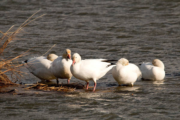 Photograph - Resting Snow Geese by Kristia Adams