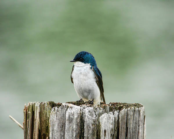 Photograph - Resting Swallow by Jai Johnson