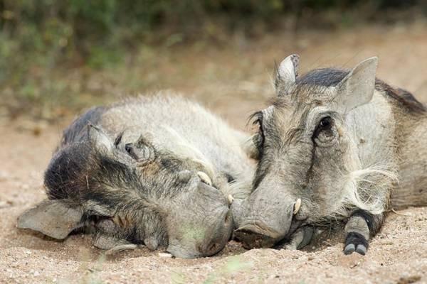 Hoof Photograph - Resting Warthogs by Tony Camacho