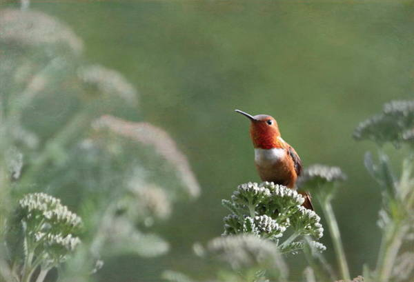 Rufous Photograph - Resting With Nature by Angie Vogel