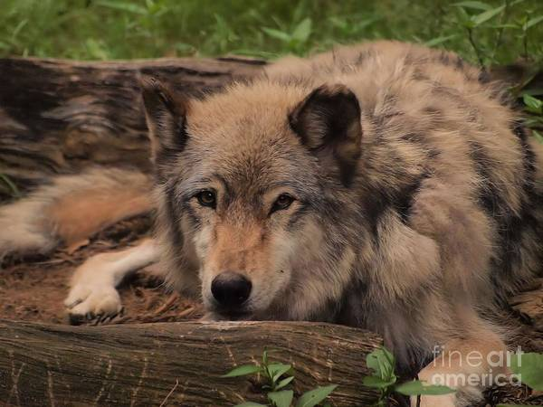 Wall Art - Photograph - Resting Wolf by Frank Piercy