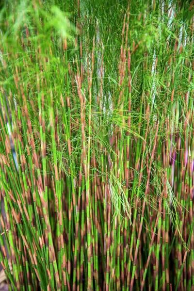 Ornamental Grass Photograph - Restio (baloskion Tetraphyllum) by Adrian Thomas/science Photo Library