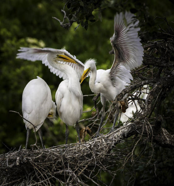 Restless Teenage Egrets Art Print