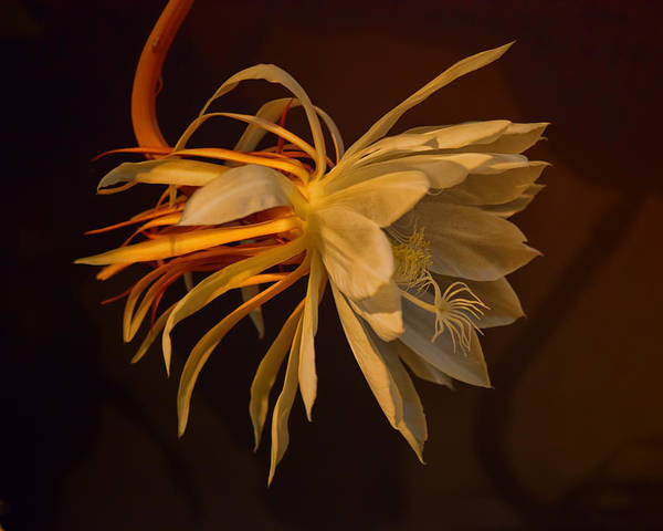 Cactus Flower Photograph - Return Of The Night Bloomer by Susan Capuano
