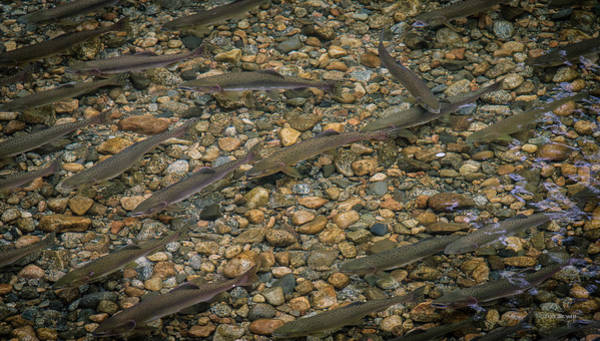 Photograph - Return Of The Salmon- British Columbia by Tim Bryan