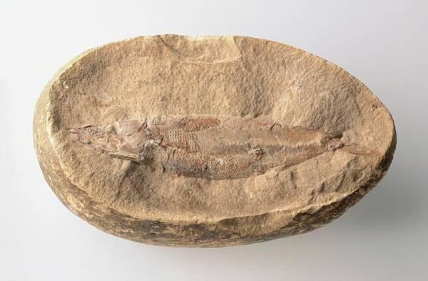 Cretaceous Wall Art - Photograph - Rhacolepsis Fossil by Dorling Kindersley/uig