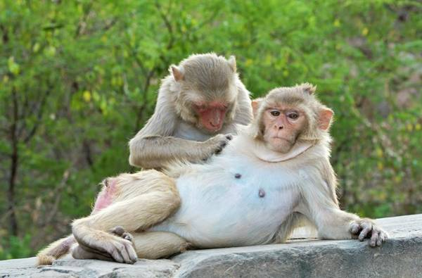 Wall Art - Photograph - Rhesus Monkeys Grooming by Tony Camacho/science Photo Library