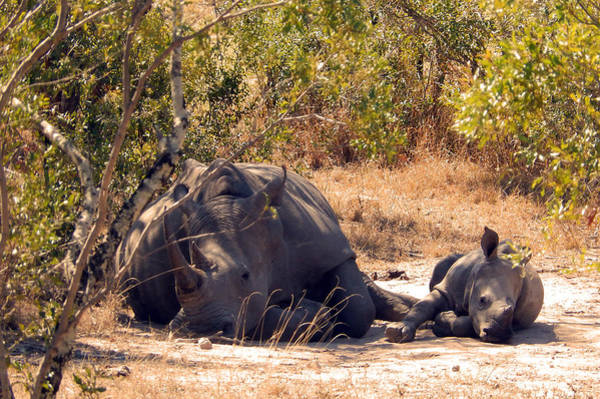 Photograph - Rhino Family by Carolyn Jarvis