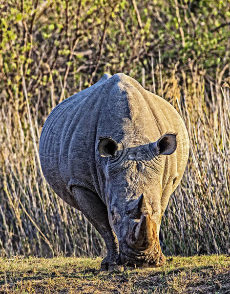 Photograph - Rhino In The Rushes by John  Nickerson