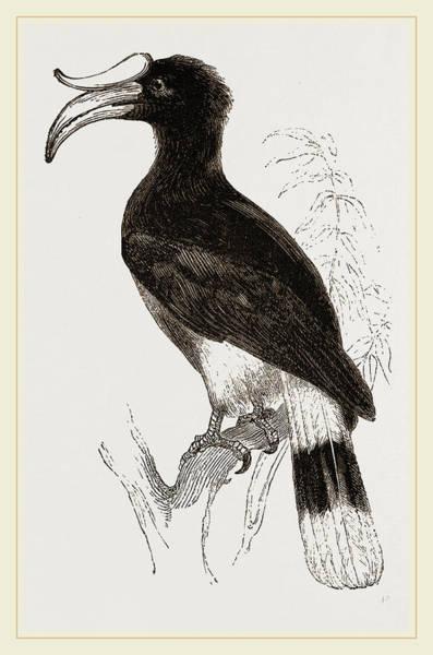 Hornbill Drawing - Rhinoceros Hornbill by Litz Collection