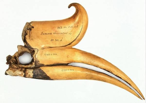Hornbill Photograph - Rhinoceros Hornbill Skull by Natural History Museum, London/science Photo Library