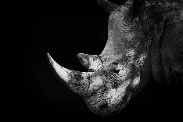 Black Background Photograph - Rhinoceros by Malcolm Macgregor