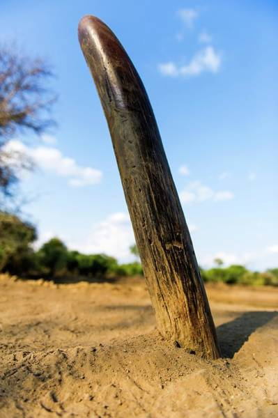 Rhinoceros Photograph - Rhinoceros Rubbing Post by Peter Chadwick