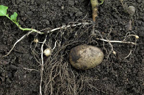 Tubers Photograph - Rhizomes Of The Potato Plant by Dr Jeremy Burgess