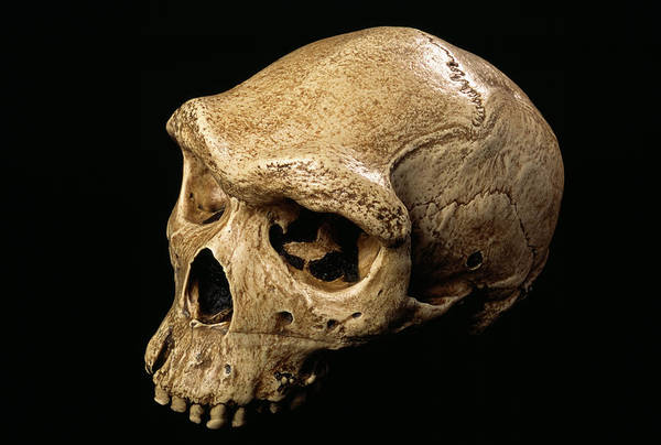 Wall Art - Photograph - Rhodesia Man Skull by Pascal Goetgheluck/science Photo Library