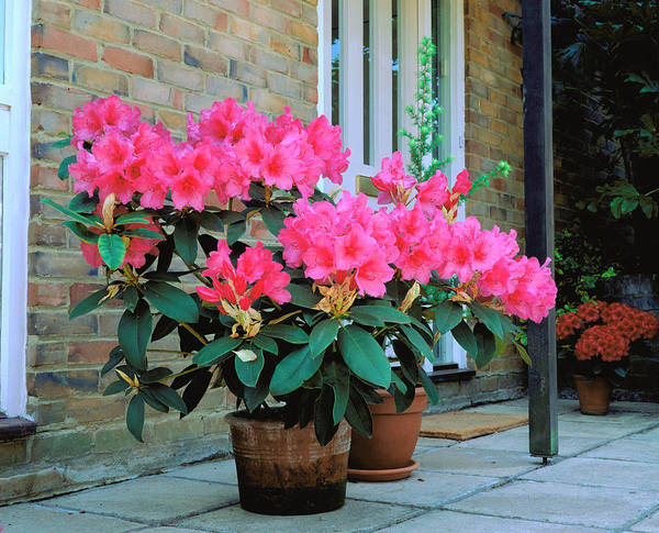 Wall Art - Photograph - Rhododendron Anna Rose Whitney by Anthony Cooper/science Photo Library