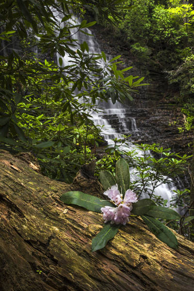 Chilhowee Photograph - Rhododendron At The Falls by Debra and Dave Vanderlaan