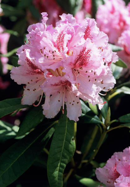 Cheer Photograph - Rhododendron 'cheer' Flowers by Tony Wood/science Photo Library