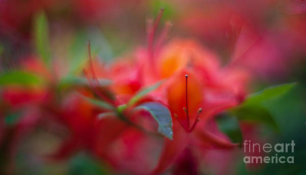 Azaleas Photograph - Rhododendron Color Dream by Mike Reid