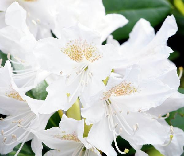 Wall Art - Photograph - Rhododendron 'cunningham's White' by Anthony Cooper/science Photo Library