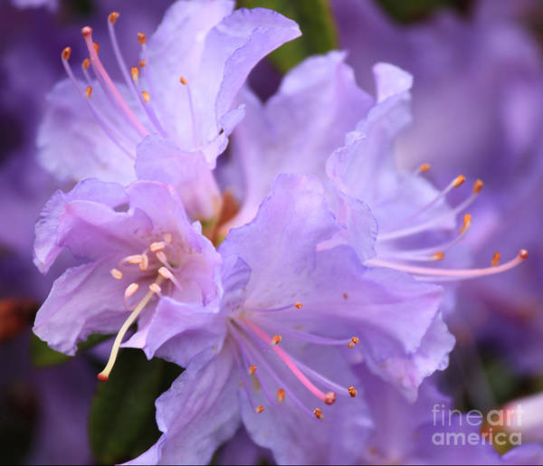 Wall Art - Photograph - Rhododendron Flower by Four Hands Art