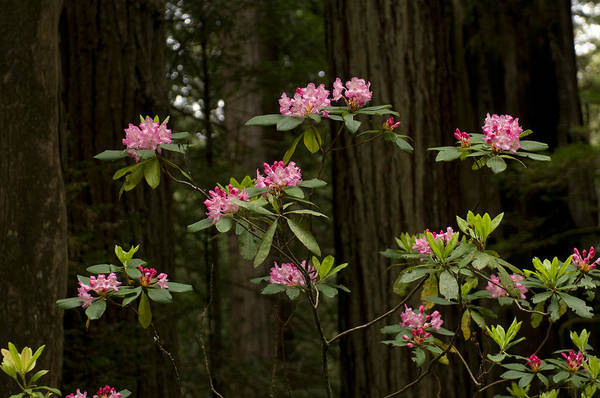 Peacefulness Photograph - Rhododendron Flowers And Redwood Trees by Panoramic Images