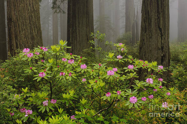 Photograph - Rhododendron In Del Norte State Park, Ca by John Shaw