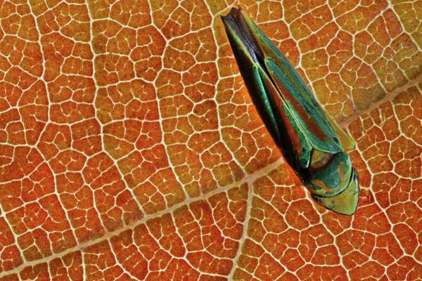 Introduced Species Photograph - Rhododendron Leafhopper by Frank Fox