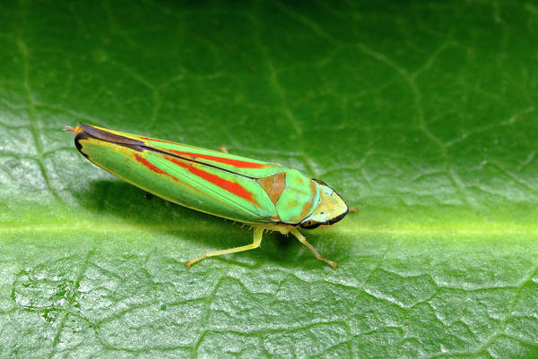 Introduced Species Photograph - Rhododendron Leafhopper by Nigel Downer