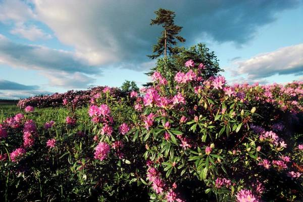 Native Plant Photograph - Rhododendron Ponticum by Archie Young/science Photo Library