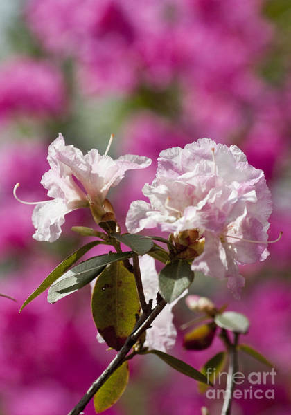 Photograph - Rhododendron by Steven Ralser