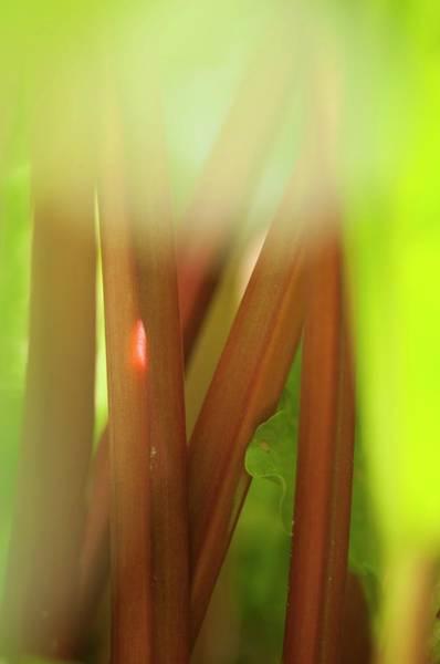 Wall Art - Photograph - Rhubarb (rheum Rhabarbarum) by Maria Mosolova/science Photo Library