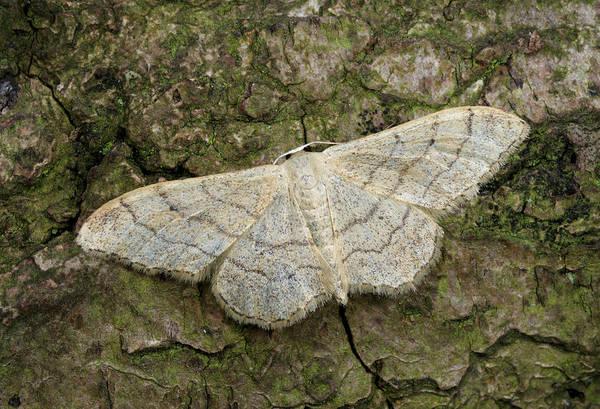 Entomology Photograph - Riband Wave Moth by Nigel Downer