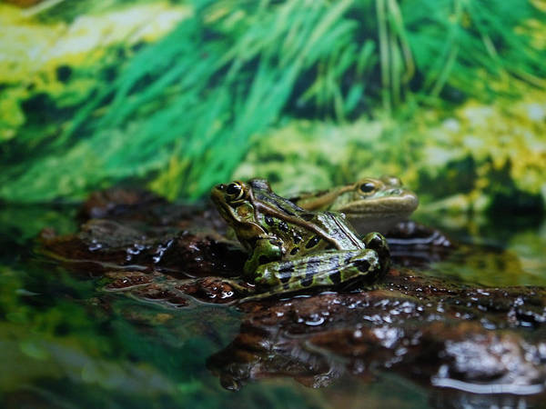Photograph - Ribbit by Richard Reeve