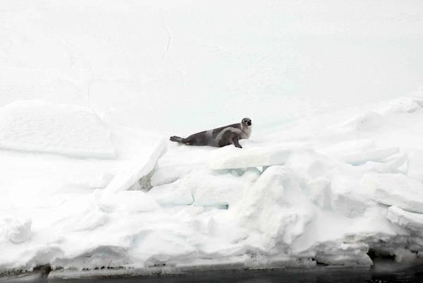 Wall Art - Photograph - Ribbon Seal Female by Carleton Ray