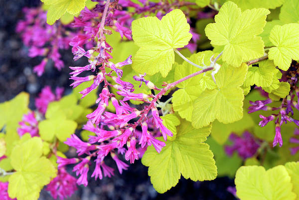 Currants Photograph - Ribes Sanguineum 'brocklebankii' by Anthony Cooper/science Photo Library