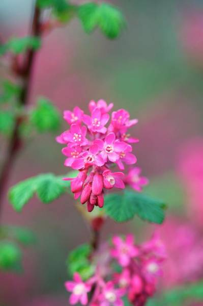 Currants Photograph - Ribes Sanuineum 'pulborough Scarlet' by Sam K Tran/science Photo Library