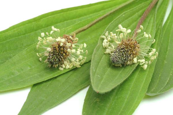 Wall Art - Photograph - Ribwort Plantain (plantago Lanceolata) by Bildagentur-online/th Foto/science Photo Library