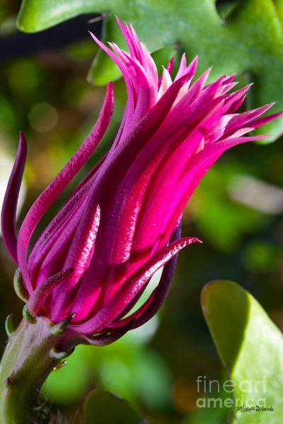 Photograph - Ric Rac Orchid Cactus by Michelle Constantine