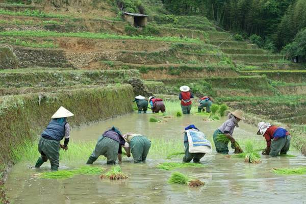 Ethnic Minority Photograph - Rice Cultivation In Yunnan Province by Tony Camacho
