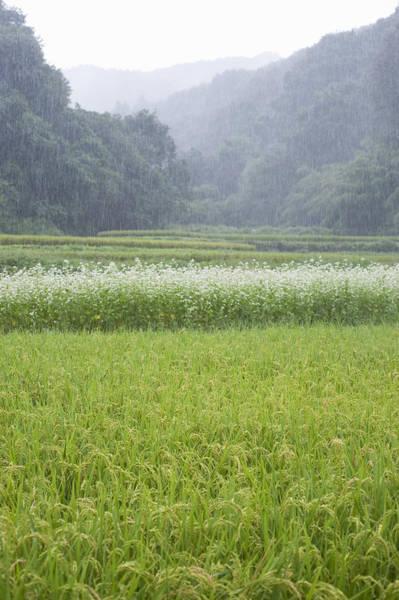 Photograph - Rice Field And Buckwheat Flowers At Dawn by Wataru Yanagida