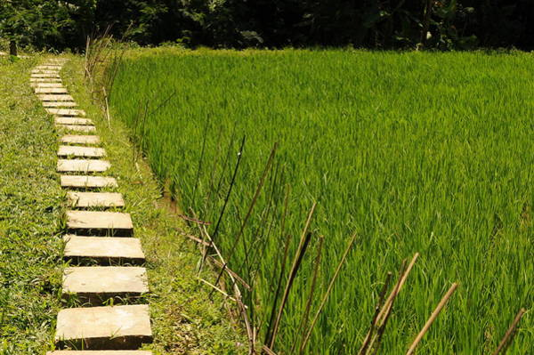 Wall Art - Photograph - Rice Field Path by Jessica Rose