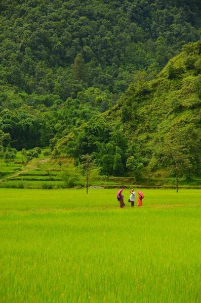Nepal Wall Art - Photograph - Rice Field Trio by Aaron Bedell