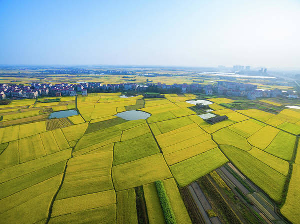 Photograph - Rice Field by Yangna