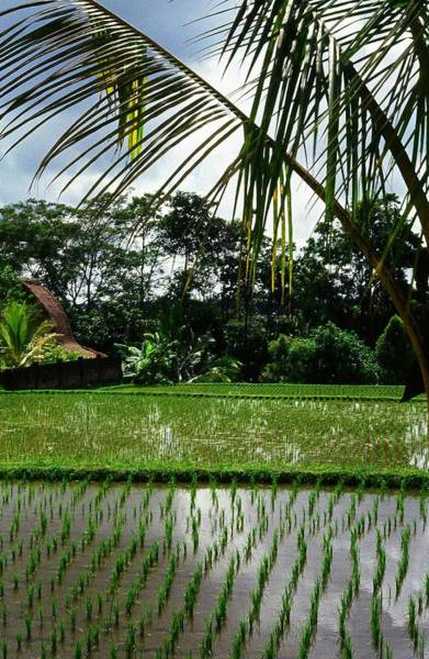 Photograph - Rice Fields Bali by Juergen Weiss