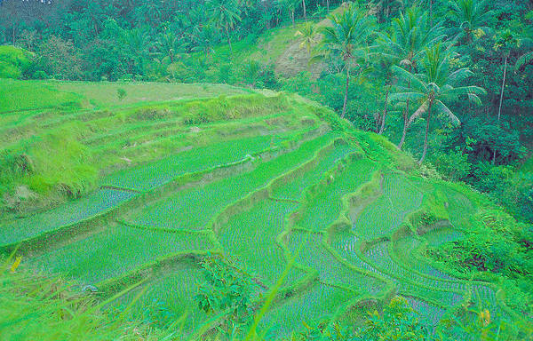 Photograph - Rice Fields In Indonesia by Pete Hendley