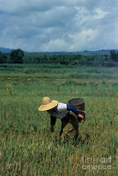 Photograph - Rice Harvest In Southern China by James Brunker