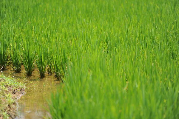 Wall Art - Photograph - Rice  by Jessica Rose