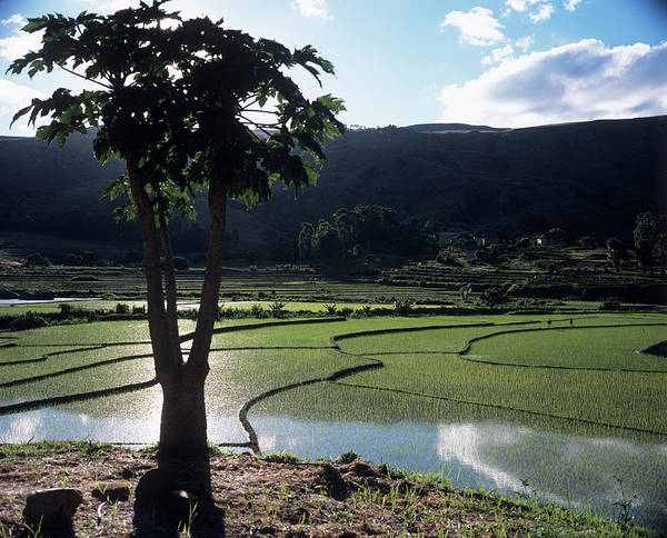 Madagascar Photograph - Rice Paddies by Sinclair Stammers/science Photo Library